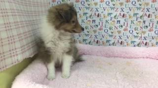 ペットショップ COO&RIKU 多賀城店 №326313 犬種:シェルティー Video