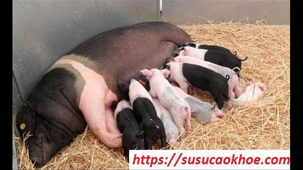 Giải mã giấc mơ thấy con lợn là điềm gì, đánh con gì, tốt hay xấu – susucaokhoe