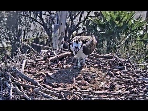 Achieva Osprey Cam, Female takes fish, Male babysits  2017 03 18 20 09 26 798