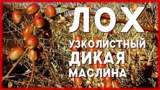 ДИКАЯ МАСЛИНА / ЛОХ УЗКОЛИСТНЫЙ, описание, свойства