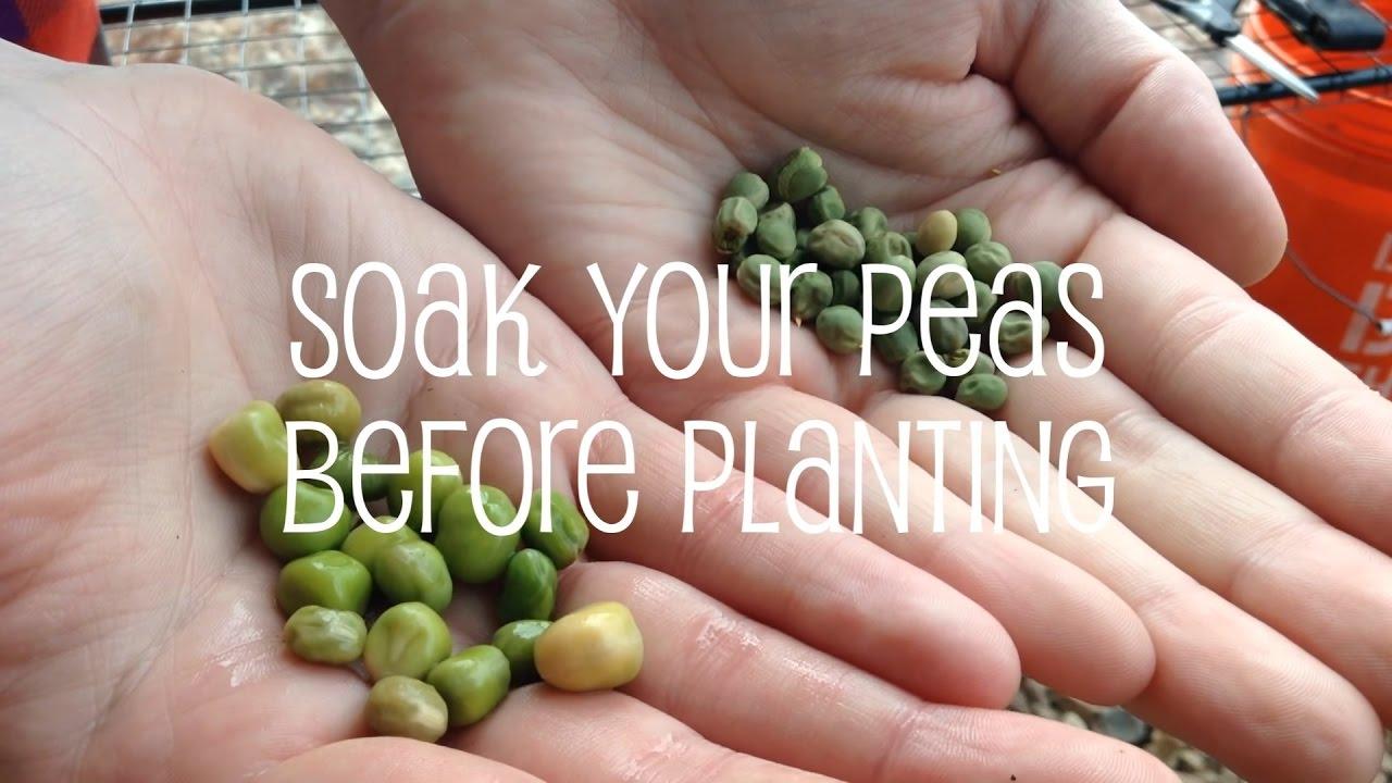How to soak peas