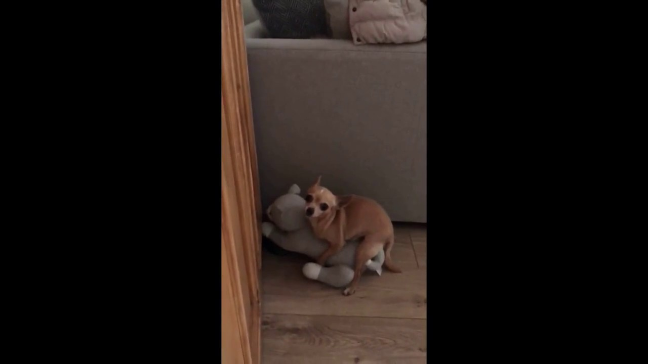 Dog Gets Caught Humping Door Stopper & Dog Gets Caught Humping Door Stopper - YouTube