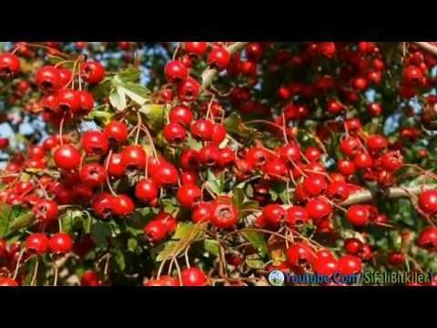 Harunun özellikleri nelerdir Bitkinin meyvesinin yararlı özellikleri