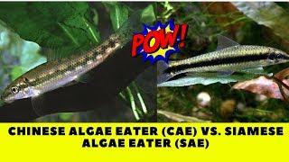 Species Highlight Chinese Algae Eater Cae Vs Siamese Algae Eater Sae Youtube