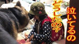 大型犬・#ジャーマンシェパード犬・マック君と孫娘 梨々香の話、学校か...