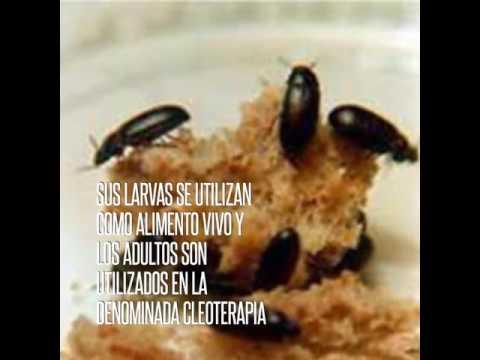 Gorgojo de maní (Ulomoides dermestoides)