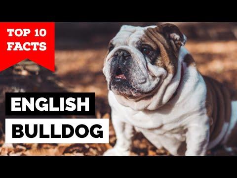 Bulldog - Top