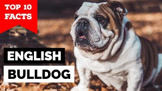 Bulldog  Top 10 Facts