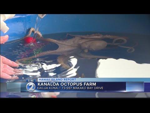 Island of Hawaii Week: Kanaloa Octopus Farm