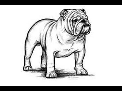 Est 193 Ndar Bulldog Ingles Standard English Bulldog Youtube