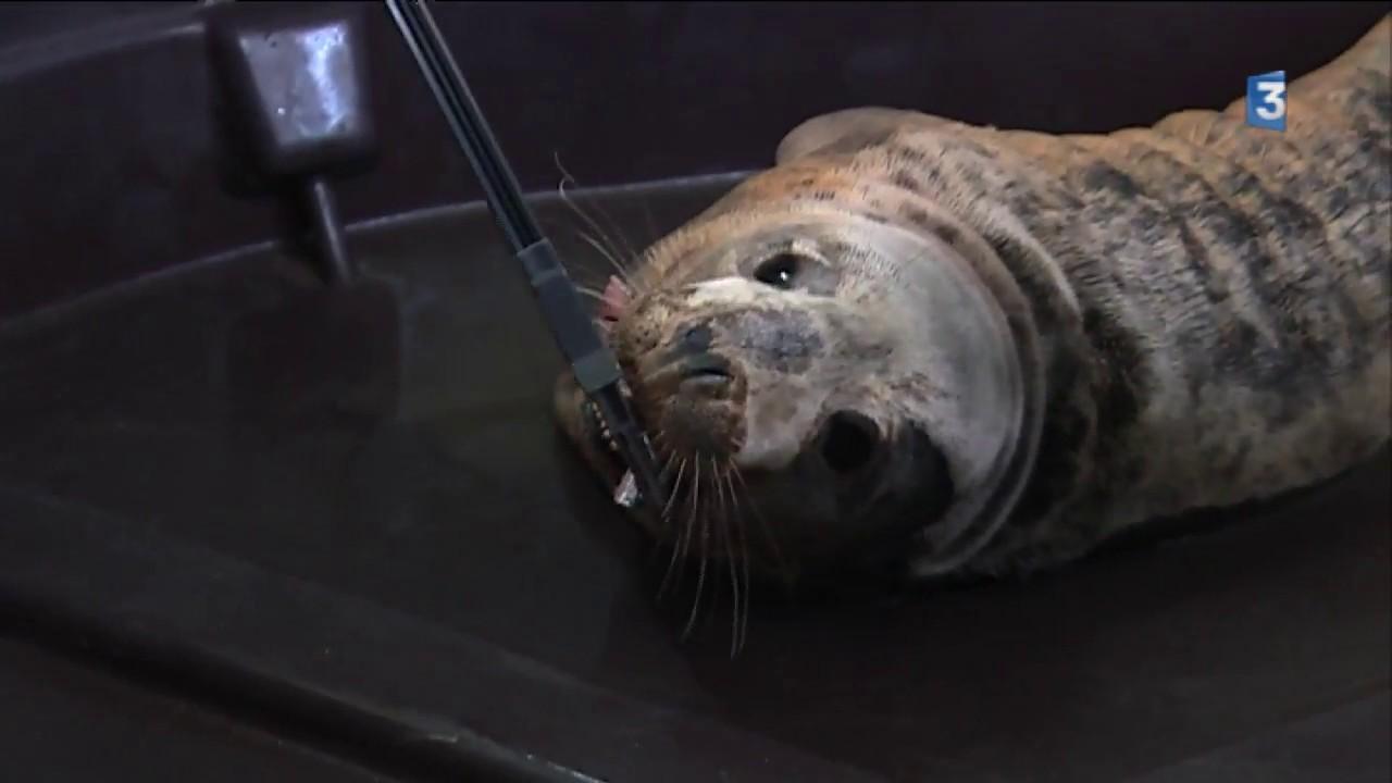Un Bébé Phoque échoué Pris En Charge Par L Aquarium De Biarritz