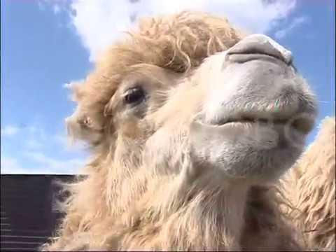 Верблюд Вася
