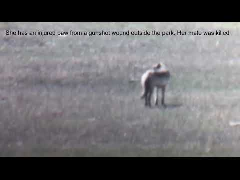 Wild Yellowstone Park Wolf Possibly Injured from Gun Shot