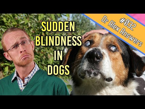Causes Of Sudden Blindness In Dogs (+ How To Help Them Cope!) - Dog Health Vet Advice
