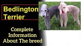 Bedlington Terrier. Pros and Cons, Price, How to choose, Facts, Care, History
