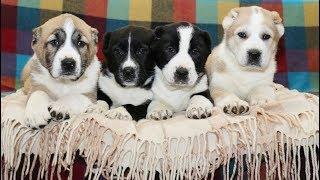 ПРОДАНЫ  щенки Среднеазиатской овчарки (Алабай)