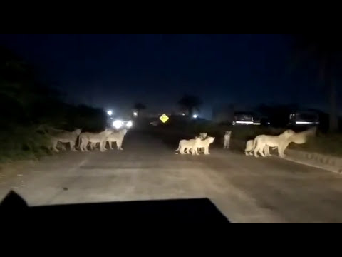 Viral Video of Lions at Amreli State highway near Pipavav port