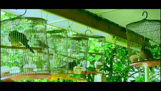 BIRD PART 1 SING  Male Oriental Magpie-Robin and Mele Spotted Dove[MALAYSIA]