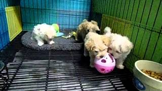 Dottie Maltipoo Puppies Playing
