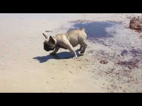 FRENCH BULLDOG PUPPIES FIRST TIME ON A BEACH... VERY CUTE