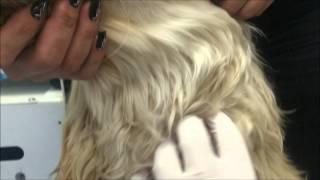 афганская борзая, 1 год,  Воспаление лимфатического узла