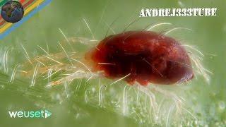 Ragnetto rosso degli agrumi (Tetranychus urticae/Panonychus citri)(malattie agrumi) Marco Beconcini