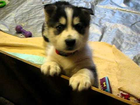 Husky Puppies At 5 Weeks Old Whining For Attention Youtube