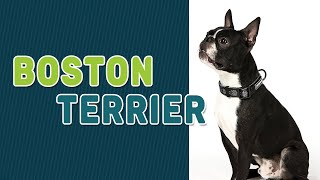 Boston Terrier | Complete Dog Breed Guide | Petmoo