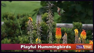 The Hummingbirds #2