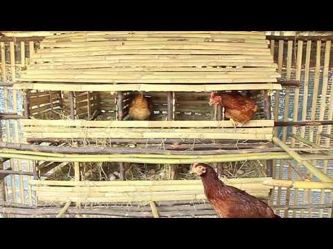 ไก่ไข่  โดย ช่างภาพไทย