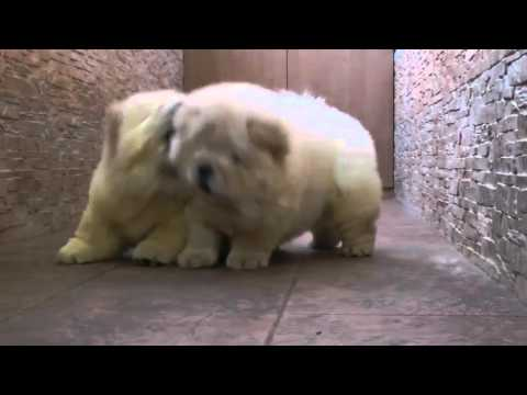 Chow Chow Puppies Play