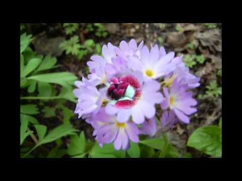Примула  - самый первый весенний цветок. Название +фото