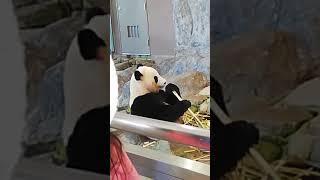 【パンダ🐼】🎀結浜、回復祈願 Japan Wakayama Shirahama Adventure World Giant Panda Yuihin