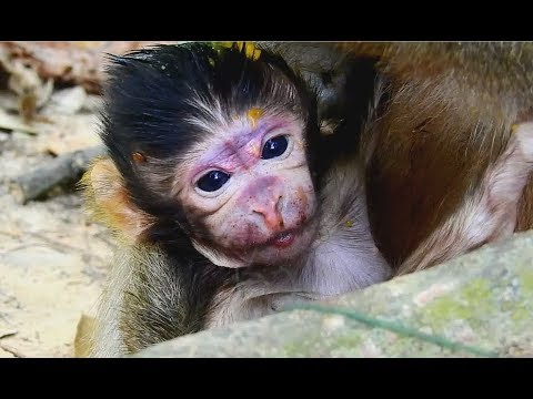 Welcome Newborn Baby monkey Just born ! But Sad to see