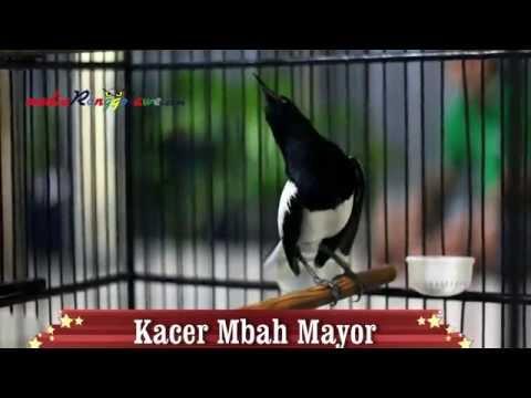 SUARA BURUNG : Kacer Mbah Mayor Milik Om Rudi RKJ Sehari Moncer Di 2 Tempat Sekaligus