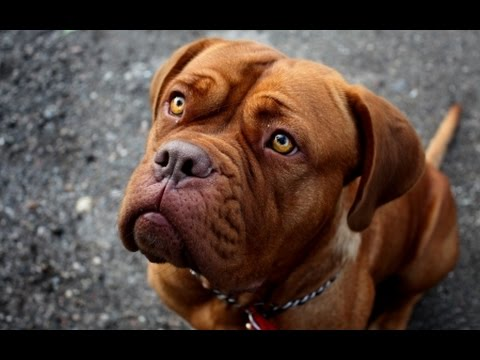 French Mastiff: Training Obedience (Dogue de Bordeaux)