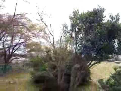 TU NGHIEP SINH VIET NAM SAKURA 公園で桜ビデオ9