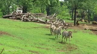 よこはま動物園ズーラシア。 大草原が広がるアフリカのサバンナです。 ...