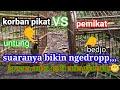 Cucak Ijo Kepala Kuning Tarung Kandang Serune Poll  Mp3 - Mp4 Download