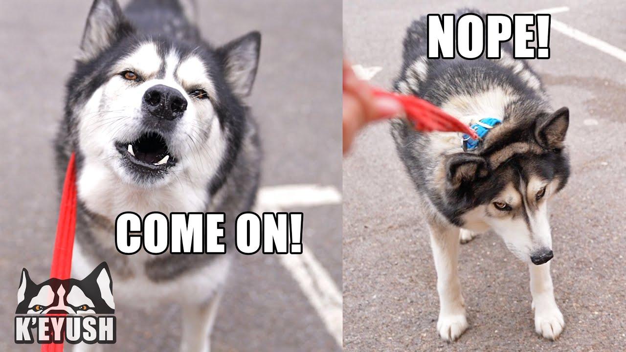 Husky TALKS To His Therapist Then REGRETS it!