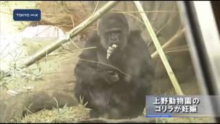 上野動物園でゴリラの妊娠が確認されました。ことしのゴールデンウイー...