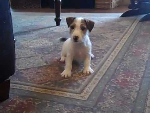Jack Russell Terrier puppy 'Cooper' looking for toys