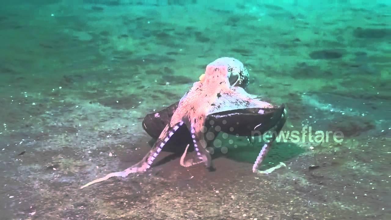 octopus walks along ocean floor carrying coconut youtube
