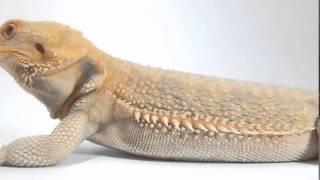 WWW.AGAMKY.EU l Sameček č.9 z naší nabídky :) Agama vousatá