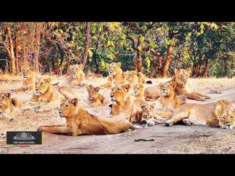 Asiatic Lion's Total Goes Up, May Touch 500