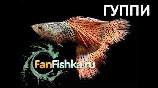 Гуппи содержание в аквариуме видео-обзор