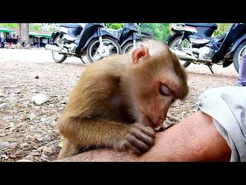 Unbelievable abandoned Pigtail monkey good at grooming human like this?