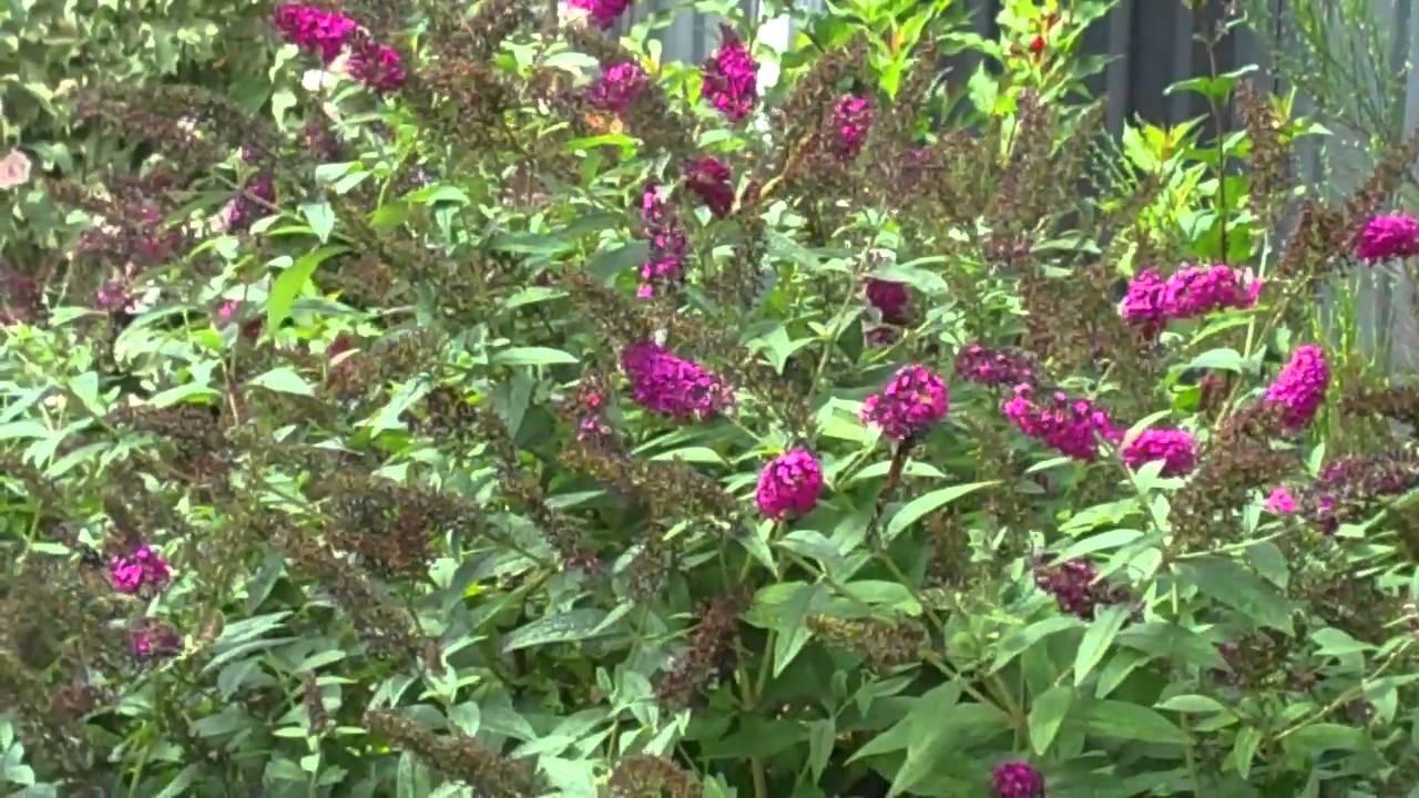 Miss Molly Buddleia Butterfly Bush Youtube