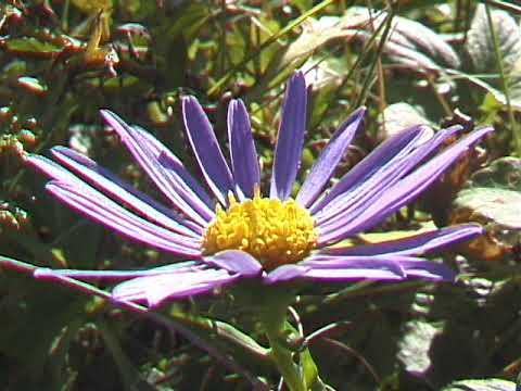 цветы цветок ромашка фиолетовая