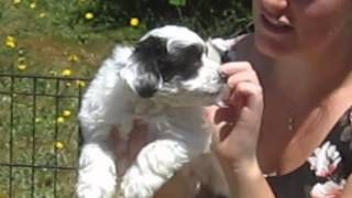 Black And White Parti Coloured Lush Coated Miniature Schnauzer  Male And Female Puppies